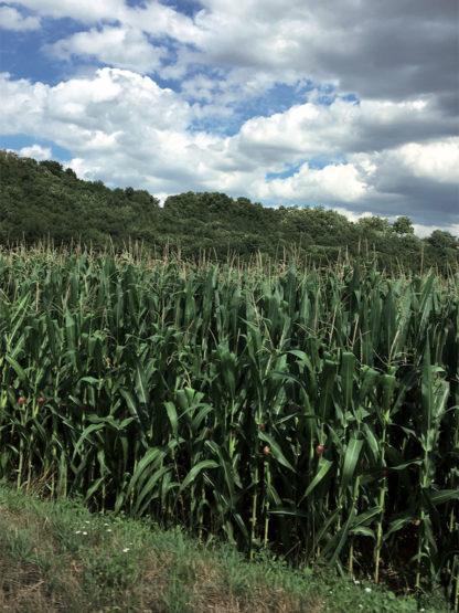 Simon Rayssac, Une jeune fille dans un champ de maïs
